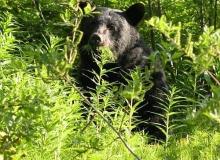 Alaska-Black-Bear