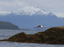 Eagle Prince William Sound