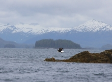 Eagle Prince William Sound