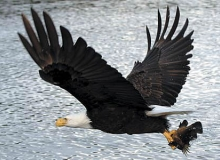 Eagle With a Rock Fish