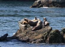 Sea Lions of Alaska