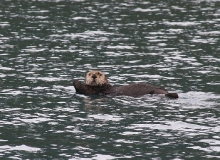 Sea Otter, Prince William Sound