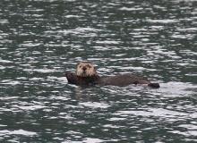 Sea Otter, Prince William Sound